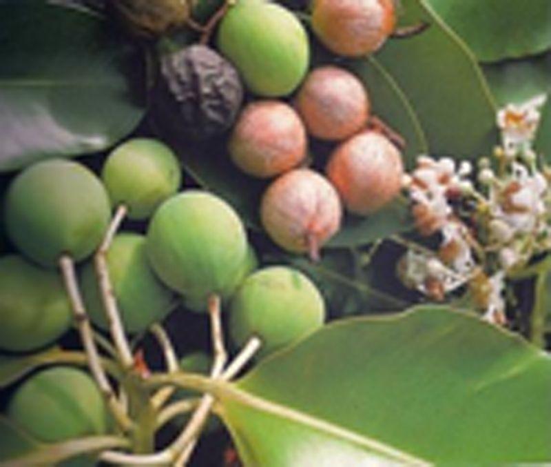 Grönsakstvål tillverkad av Tamanu Monoi de Tahiti oljor - TIKI SAVON TAMANU 130grs